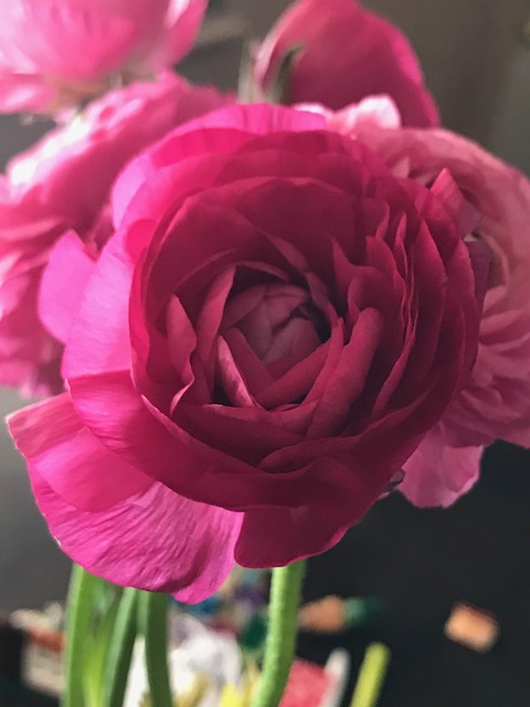 Rose2018Jan27SMALLER
