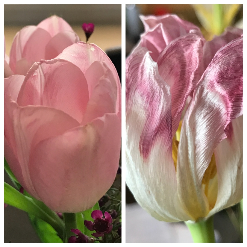 TulipCollage2018April2and8