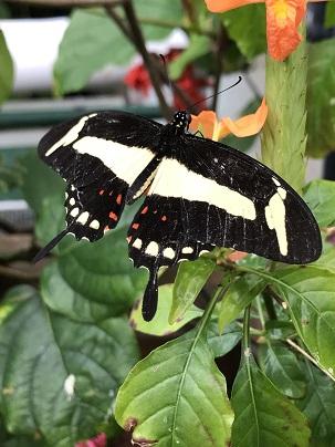 ButterflyWithShortTails2019Feb14SMALL