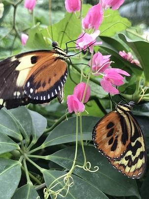 TwoTigerPrintButterflies2019Feb14SMALL